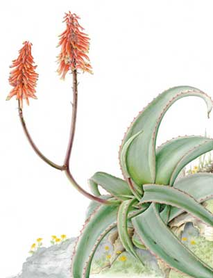 Aloe schelpei, from Debre Libanos, painting by Sarah Howard